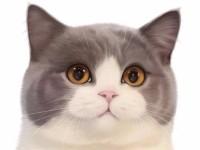 英短蓝白 蓝猫 美短加白 渐层 起司高白猫(包纯种健康)