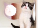 北京通州英国短毛猫怎么卖