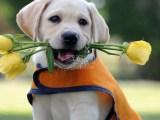 布拉多导盲犬是自己养大,现在有黑色白色 好喂养