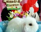 纯白垂耳兔宠物兔迷你兔