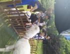 上海宝山区羊驼出租-矮马出租-孔雀出租-庆典展览展示暖场