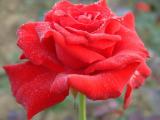 潍坊大红帽月季供应商 想买品种好的潍坊大红帽月季供应商上哪