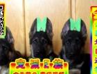 德牧幼犬实物拍摄 包纯种 包健康 多只在售公母均有