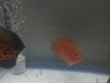 小鹦鹉鱼刚入缸转卖,突然间想养大鹦鹉
