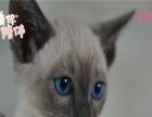 暹罗猫,40多天,会用猫砂,爱干净,随时可以抱
