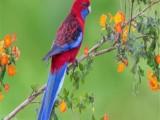 呼和浩特金川开发区本地出售观赏鸟专业繁殖
