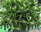 天津市内六区绿植租赁花卉租赁办公室绿植租摆公司