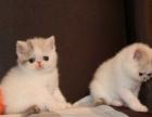 【成都特价】高品质红白净梵加菲猫 CFA繁育权