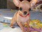 北京犬舍出售纯种茶杯体吉娃娃幼犬 微小奶油白宠物