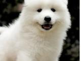 聰明 文雅 忠誠的狗狗--賽級澳版薩摩耶寶寶出售