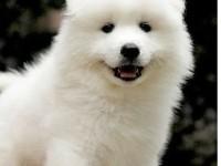 聪明 文雅 忠诚的狗狗--赛级澳版萨摩耶宝宝出售