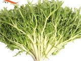 强丰基地直供新鲜蔬菜 苦细叶