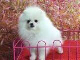 哪里有博美俊介犬卖 家养博美价格 博美俊介图片