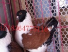 出售摩登娜鸽,摩登那鸽图片,一对摩登那鸽多少钱,摩登那鸽图片