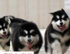 犬舍直销-纯种阿拉斯加-包健康-送狗狗用品