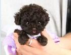 萌萌哒泰迪宝宝幼犬出售 小体袖珍犬 娃娃脸玩具体