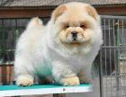 纯种的松狮多少钱 宠物店的狗靠谱吗
