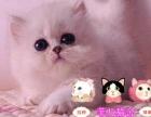 出售纯种可爱雪白漂亮金吉拉猫咪健康保证欢迎上门挑