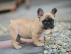 中国较大双血统法国斗牛犬繁殖基地 可实地考察