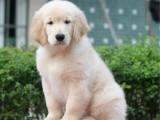 佛山哪里有卖金毛犬 狗场直销多种狗狗 签协议可送货上门