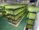 菜立方花生芽水培种植,营养更全面对人体更健康