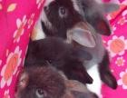 家养道奇猫猫兔amp荷兰垂耳兔amp宠物兔!60米湖塘大学城自提