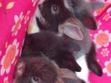家养道奇猫猫兔&荷兰垂耳兔&宠物兔!60米湖塘大