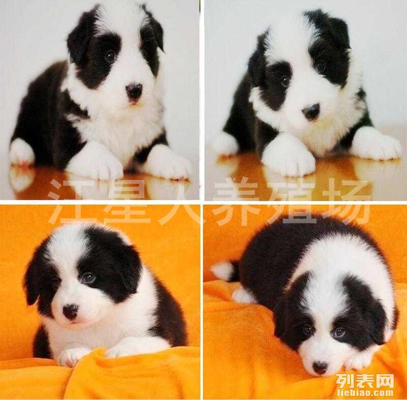 东莞地区最大养殖场 出售世界名犬 可签协议 可送货上门