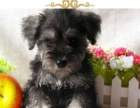 可爱老头狗雪纳瑞幼犬,健康质保,温顺,可爱,漂亮