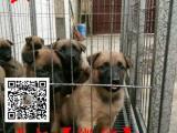 哪里出售2~4个月的纯血马犬幼犬