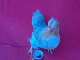 元宝鸡和马来西亚塞拉玛鸡