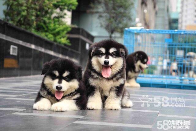 可当面测试犬瘟 细小 纯种阿拉斯加幼犬 包3个月退换