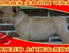 法牛犬舍专业繁殖超短体法牛 小方体法斗幼犬