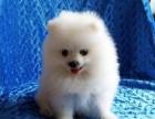 狗场出售三个月纯种博美,疫苗齐全健康保障