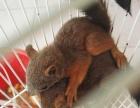 37松鼠淘宝店出售魔王金花雪地幼鼠龙猫安格鲁貂等宠物支持淘宝