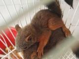 56松鼠淘宝店出售魔王金花雪地幼鼠龙猫安格鲁貂等宠物支持淘宝