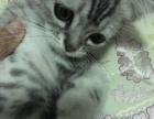 美短虎斑猫宝宝,两个月,1000块,价格可面议