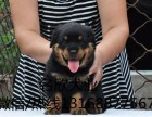 纯正健康的罗威纳犬憨厚忠诚体格健壮专业标准已打疫苗