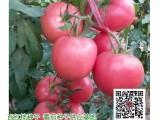 北京番茄种子 越冬大果西红柿品种,硬果深粉荷兰进口番茄种子