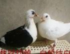 出售种鸽,幼鸽。汕头龙湖新溪。