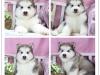 阿拉斯加 幼犬纯种大