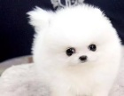 重慶狗狗之家長期出售高品質 博美 售后無憂