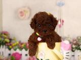 出售纯种贵宾宝宝 狗狗活泼可爱 包健康