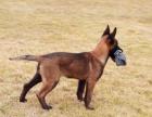 精品马犬2--4个月纯血统幼犬出售