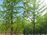 1米2量20公分银杏树(实生)价格 邳州银杏树价格