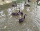 黑天鹅的价格孔雀苗鸵鸟苗出售