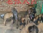马犬出售 马犬哪里有卖 马犬出售 马犬价格