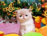 加菲猫 活体幼猫 纯种家养 水滴眼大脸猫