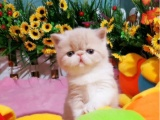 加菲貓活體寵物貓眼鼻一線賊溜溜的可愛性格超軟