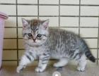 出售英短小猫咪